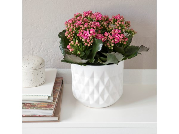 Queen® kalanchoe, large, pink