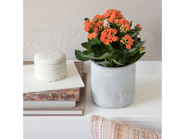 Queen® kalanchoe, medium, orange