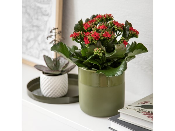 Queen® kalanchoe, medium, rød