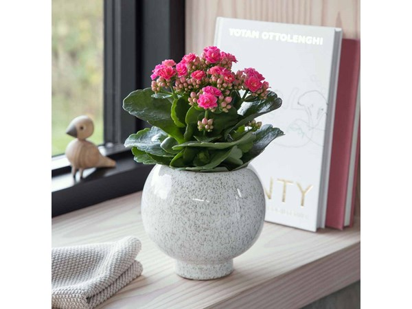 Queen® kalanchoe, medium, pink
