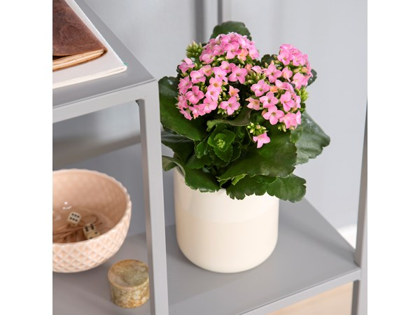 Queen® kalanchoe, medium, rosa